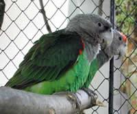 Le Vaillant's Parrot