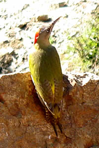 Le Vaillant's Woodpecker